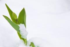 Kwiaty w śniegu Obrazy Royalty Free