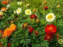 Kwiaty w ogródzie cynie kwitną, cynie Elegans, Tagetes kwiaty w ogródzie zdjęcie royalty free