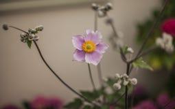 Kwiaty w ogródzie w Londyn, Anglia - smakołyk menchia kwitnie obraz stock