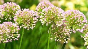 Kwiaty w ogródzie - menchie, wiosna, pole, okwitnięcie, flora, kwiat, piękny zdjęcia stock