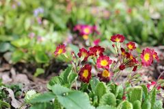 Kwiaty w ogródzie pierwiosnek zdjęcie royalty free