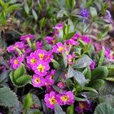 Kwiaty w ogródzie pierwiosnek fotografia royalty free