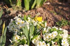 Kwiaty w ogródzie pierwiosnek zdjęcia royalty free