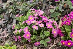 Kwiaty w ogródzie pierwiosnek fotografia stock