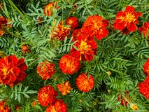 Kwiaty w ogródzie Tagetes kwitnie w ogródzie zdjęcie stock