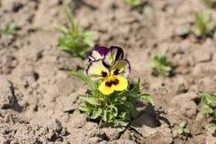 Kwiaty w ogródzie violetta zdjęcia royalty free
