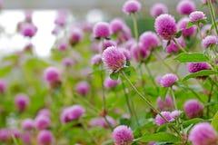 Kwiaty w ogródzie z miękką ostrością, zamazana ostrość Fotografia Royalty Free