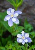 Kwiaty w Ouray Fotografia Royalty Free
