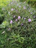 Kwiaty w parkach Tajlandia Zdjęcia Stock