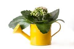 Kwiaty w podlewanie puszce   Obrazy Royalty Free