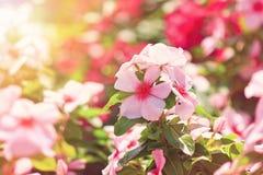 Kwiaty w pogodnym ogrodowym różowym barwinku Zdjęcie Stock