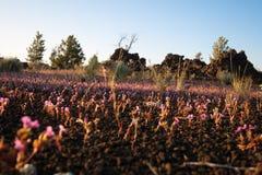 Kwiaty w Powulkanicznej skale przy kraterami księżyc Fotografia Royalty Free