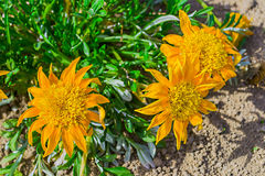Kwiaty w przedpolu Zdjęcie Royalty Free