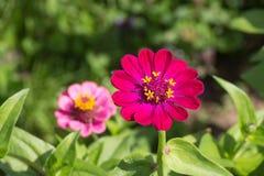 Kwiaty w wiejskim lecie uprawiają ogródek w niemieckiej wsi obraz stock