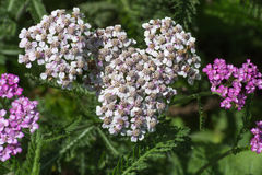 Kwiaty w wiejskim lecie uprawiają ogródek w niemieckiej wsi zdjęcie stock