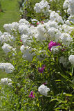 Kwiaty w wiejskim lecie uprawiają ogródek w niemieckiej wsi obrazy royalty free