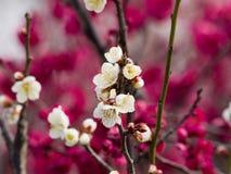 Kwiaty w wiosen seriach: biali śliwkowi bloss (Bai mei w chińczyku) Fotografia Royalty Free