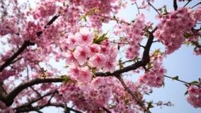 Kwiaty w wiosen seriach: okwitnięcia czereśniowi kwiaty w małych gronach na czereśniowej gałąź w popióle, zakończenie w górę i wi zdjęcie wideo