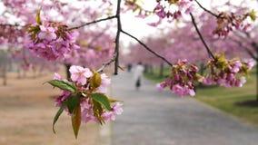 Kwiaty w wiosen seriach: okwitnięcia czereśniowi kwiaty w małych gronach na czereśniowej gałąź w popióle, zakończenie w górę wido zbiory wideo