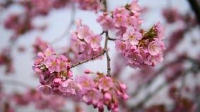 Kwiaty w wiosen seriach: Okwitnięcia Czereśniowi kwiaty w małych gronach na czereśniowej gałąź w popióle, zakończenie w górę wido zbiory