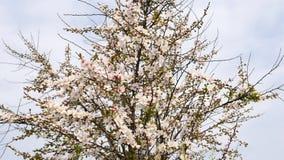 Kwiaty w wiosen seriach: Okwitnięcia Japońska krzak wiśnia kwitną w małych gronach w popióle, zakończenie w górę widoku, 4K film zdjęcie wideo