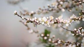 Kwiaty w wiosen seriach: Okwitnięcia Japońska krzak wiśnia kwitną w małych gronach w popióle, zakończenie w górę widoku, 4K film zbiory wideo