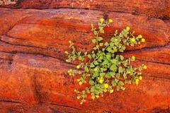 Kwiaty w Zion parku narodowym Fotografia Royalty Free