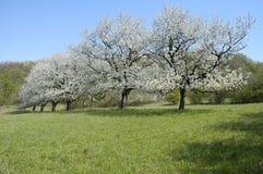 kwiaty wiśni Zdjęcia Stock