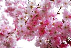 kwiaty wiśni obraz royalty free