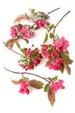 kwiaty wiśni Obraz Stock