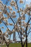 kwiaty wiśni dc Zdjęcie Royalty Free