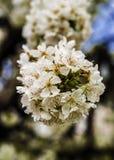 Kwiaty wiśnia Zdjęcie Stock
