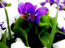 Kwiaty wiosna, krokusy, śnieżyczki Obrazy Royalty Free