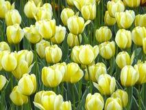 Kwiaty Wiosna tulipany Fotografia Stock