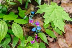 Kwiaty wiosny vetchling lub wiosny wyka Lathyrus vernus Obrazy Stock