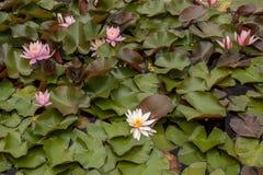 Kwiaty wodna leluja Obraz Stock