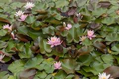Kwiaty wodna leluja fotografia royalty free