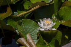 Kwiaty wodna leluja zdjęcia royalty free