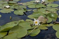 Kwiaty wodne leluje Fotografia Royalty Free