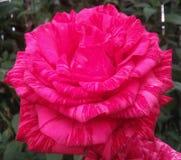 Kwiaty, wzrastali, płatki czerwoni, pojedynczy, przedmioty, natura, kolory, roślina, makro-, wizerunek, fotografia, okwitnięcie,  Fotografia Stock