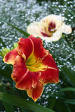 Kwiaty łyszczec i hemerocallis Zdjęcie Stock