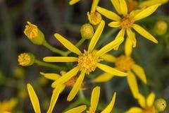 Kwiaty z chuderlawymi żółtymi płatkami obraz stock