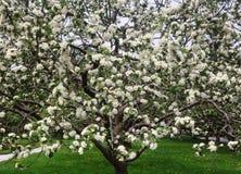 kwiaty z drzewa Fotografia Royalty Free