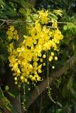 Kwiaty złotej prysznic drzewo Fotografia Royalty Free