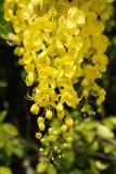 Kwiaty złotej prysznic drzewo Fotografia Stock