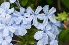 Kwiaty z wodą w makro- Zdjęcie Royalty Free