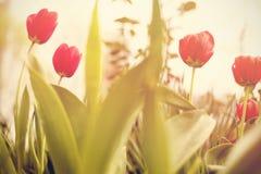 Kwiaty Zadziwiającego czerwonego tulipanowego kwiatu & zielonej trawy tło Czerwony tulipanu kwiat słodki kwiat Kolorów tulipanów  Obraz Stock
