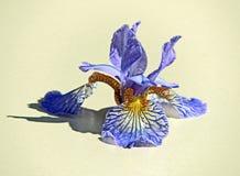 Kwiaty zasób wodny są błękitni obraz royalty free