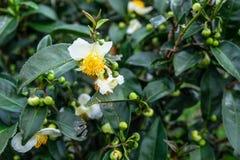 Kwiaty zielona herbata zdjęcia royalty free