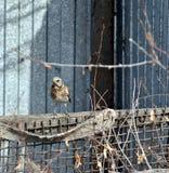Kwiczoł na ogrodzeniu Fotografia Stock